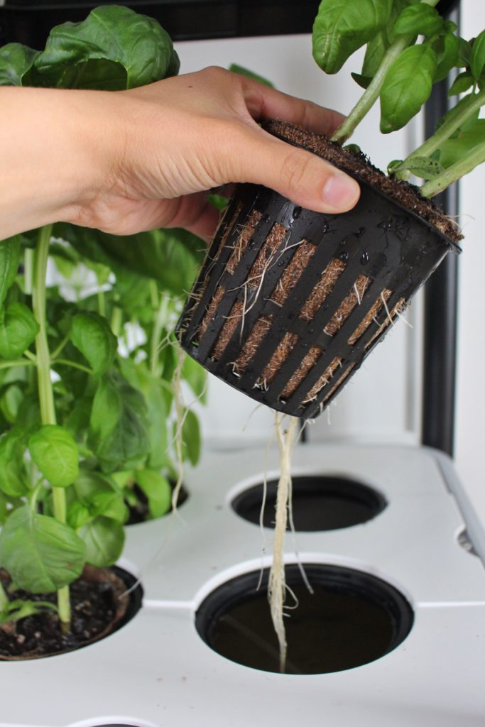 basil roots